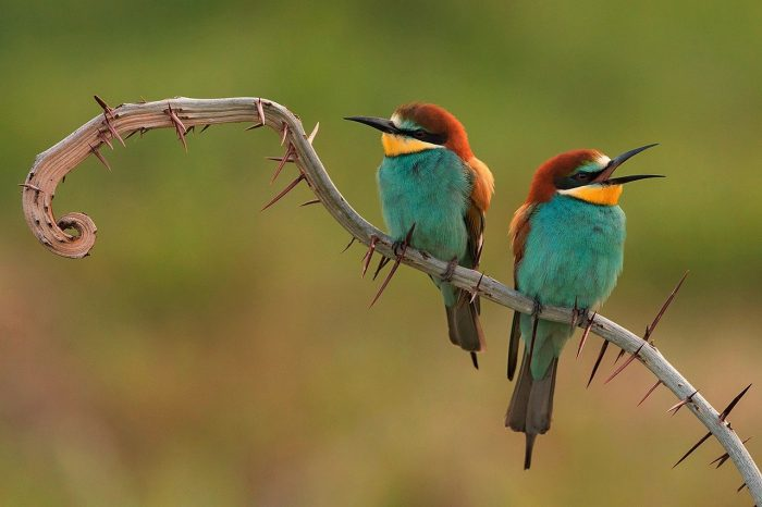 Bee eaters 3749679 1280